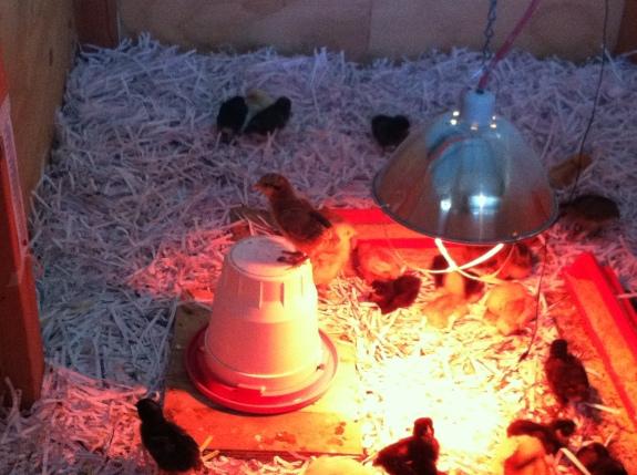 SOS chicks 15