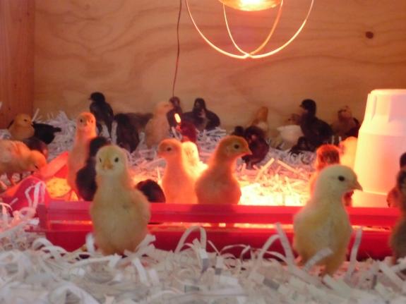 SOS chicks 2