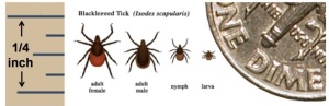 Deer Ticks at Different Stages